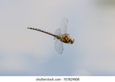 Migrant Hawker (Aeshna Mixta) Dragonfly in flight