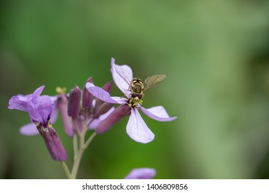 Migrant Hover Fly on Purple Cabbage Flowers in Springtime
