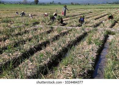 Migrant workers harvest onions in the field in sunny day. Some of them protects direct sunlight by cloths, hats and grasses over hats.