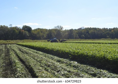 Migrant workers working to harvest a mature field of celery crop taken on October 11, 2014 near Dorr, Michigan, USA