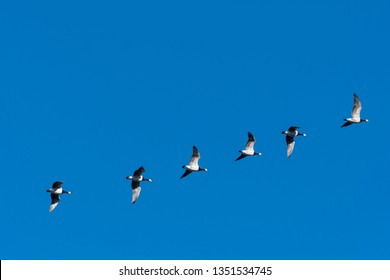 Migrating Barnacle Geese, Branta Leucopsis, flying in a line by a blue sky