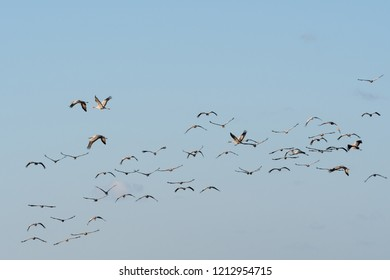 Migrating birds Common Cranes, Grus Grus, by a cloudless sky
