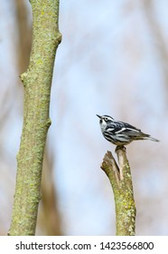 A migrating Black-and-White Warbler perches on a lichen-covered stump at Colonel Samuel Smith Park in Toronto, Ontario.