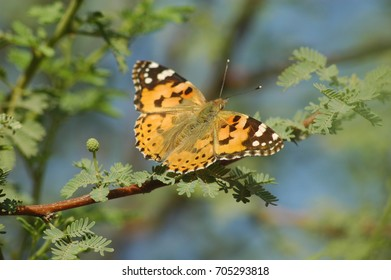migrating butterfly on Acacia tree branch in the desert