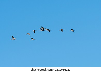 Migrating Common Cranes, Grus Grus, flying in a line by a blue and cloudless sky