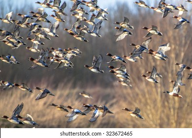 Migrating ducks are leaving for the southern hibernating areas in autumn and winter.