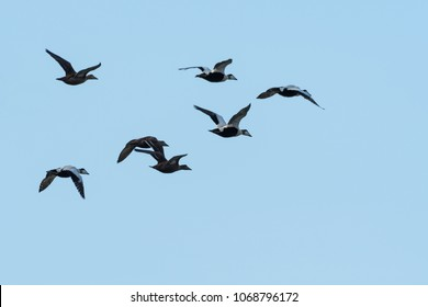 Migrating flock with Common Eiders, Somateria Molissima, flying in the Baltic Sea in Sweden