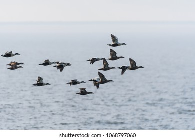 Migrating flock with Common Eiders, Somateria Molissima, flying in the Baltic Sea