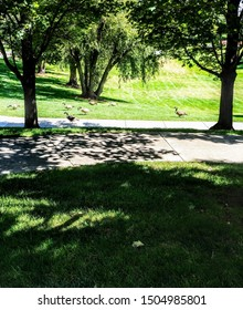 A Migrating Gaggle of Geese in the Park