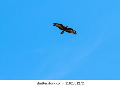 Migrating Honey Buzzard, Pernis Apivorus, against blue sky by fall season in Sweden