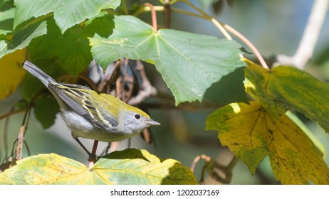 Migrating juvenile Chestnut-sided warbler perched in a maple tree in Golden Gate Park.  Fall leaves starting to turn yellow.