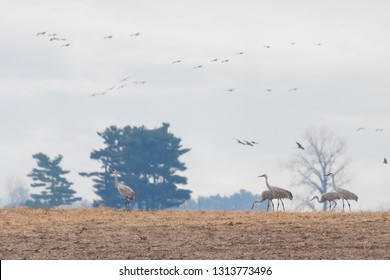 Migrating sandhill cranes invade a farm. Several feed from the recently plowed corn while many fly overhead.