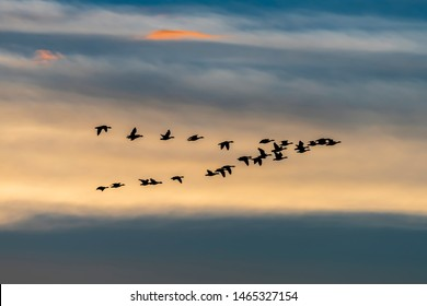 Migrating wild geese formation in fall season - Exloo, Hondsrug, Drenthe, The Netherlands.