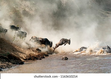 Migrating wildebeest in mid-air leaping into the dangerous Mara River with dusty dramatic background