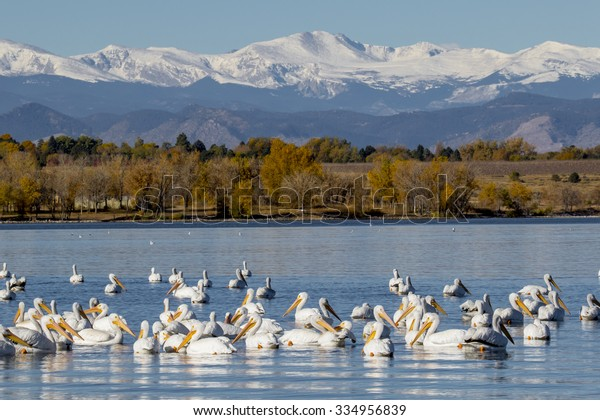 Migration of the American White Pelican with a stop at the Cherry Creek Reservoir in suburban Denver, Colorado