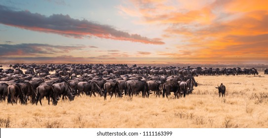 A migration of wildebeest in Serengeti national Park,Tanzania