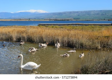 migratory birds in Hula Lake nature reserve, Hula Valley, Israel