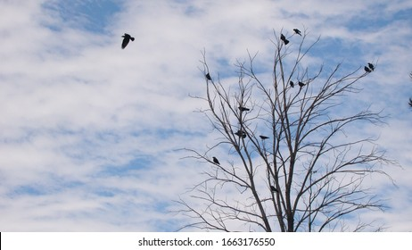 Migratory birds. Ravens fly and sit over leafless trees. Birds meet before migrating. Bird migration, animals in the city. crows gathering. Flock of crows.  Birds group. Crow crowd, animal migration