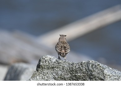 a migratory Horned Lark walking around