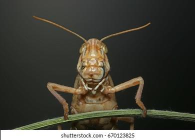 migratory locust head with high depth of focus