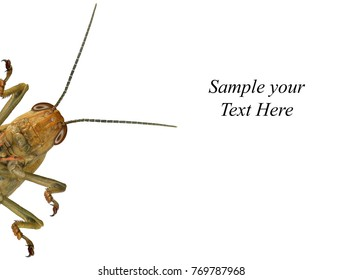 Migratory locust. Locusta migratoria. Acrididae. Oedipodinae. Isolated on a white background