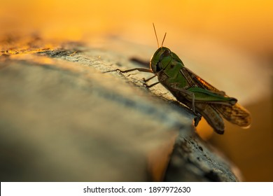 Migratory locust (Locusta migratoria), sitting on the log. Green grasshopper portrait. Insect detailed portrait with soft orange background. Wildlife scene from nature, Croatia