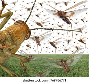 Migratory locust swarm above the cereal green field. Locusta migratoria. Acrididae. Oedipodinae. Agriculture and pest control