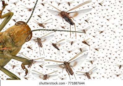 Migratory locust swarm. Locusta migratoria. Acrididae. Oedipodinae. Agriculture and pest control. Isolated on a white background