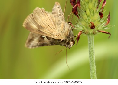 Silver Y Moth Images, Stock Photos & Vectors | Shutterstock