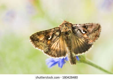 Migratory moth Silver Y or Autographa gamma butterfly feeding on flowers