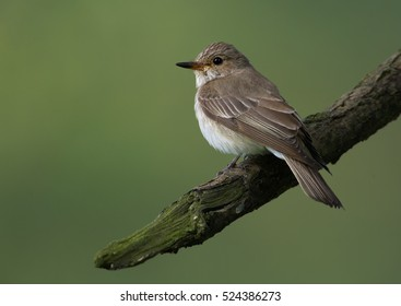 Migratory songbird, Muscicapa striata, Spotted Flycatcher perched on branch against green background. Spring, Europe.
