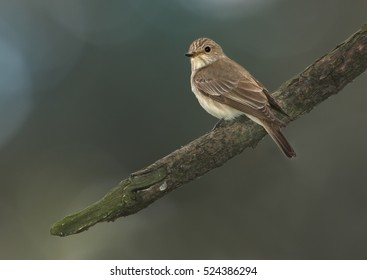 Migratory songbird, Muscicapa striata, Spotted Flycatcher perched on branch against green background.