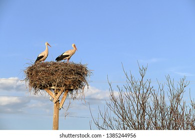 migratory storks returned to their nests in spring storks in their nests in spring