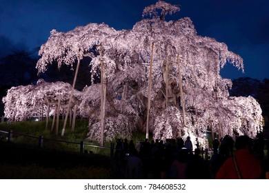 The Miharu Takizakura is an ancient cherry tree in Miharu town, Fukushima pref, in northern Japan.
