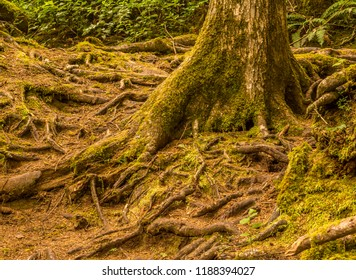 Mike Miller Park Educational Trail at a place where the trail is mostly composed of exposed roots on the forest floor. The park is located near the South Beach area of Newport, Oregon.