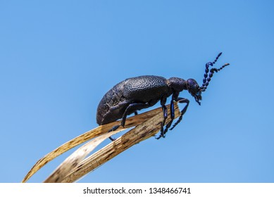 Mike ordinary. Meloe proscarabaeus is a European oil beetle, a species in the order Coleoptera without the rear wings and greatly reduced elytra