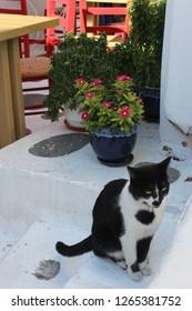 mikonos cats / Greece