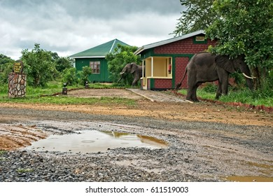Mikumi National Park, Tanzania 29 Feb 2017: Two wild elephants feeding very close to the safari lodge. The two elephants were chased away by the lodge workers. Man and wildlife conflict.