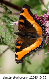 A Milbert's Tortoiseshell nectaring on a purple flower