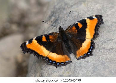 A Milbert's Tortoiseshell perching on a river rock