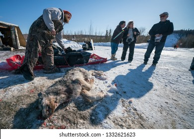 Mile 56 Dalton Highway, Alaska / USA - April 1st 2018: [A hunter / trapper is showing off his recently killed grey wolf.]