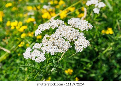 Milfoil flowering plant in meadow. Medical herb Achillea millefolium, yarrow or nosebleed plant. Fern Leaf Yarrow flower.