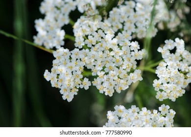 Milfoil flowers in meadow macro photo. Medical herb, Achillea millefolium, yarrow or nosebleed plant