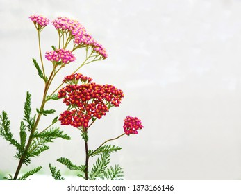 Milfoil flowers on grau background close up photo. Medical herbs: Achillea millefolium, yarrow ,or nosebleed plant