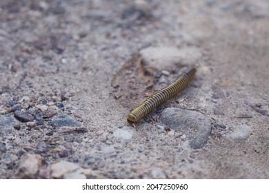 milipede on the road, unique arthropod
