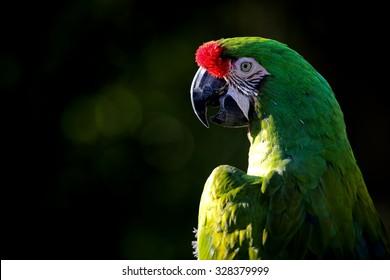 A military macaw (Ara militaris).