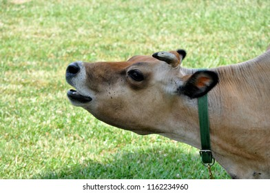 A milk cow on a farm.