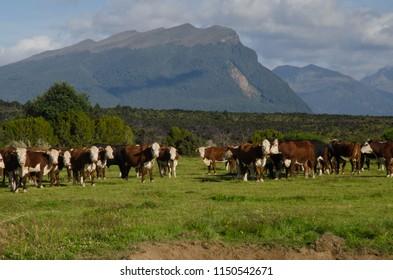 Milk cows (Bos primigenius taurus). Southland. South Island. New Zealand.