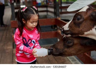 Milk feeding of a calf.Little girl hand feeding milk bottle to Little baby cow.