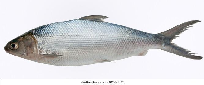 Milk fish isolated against white background.